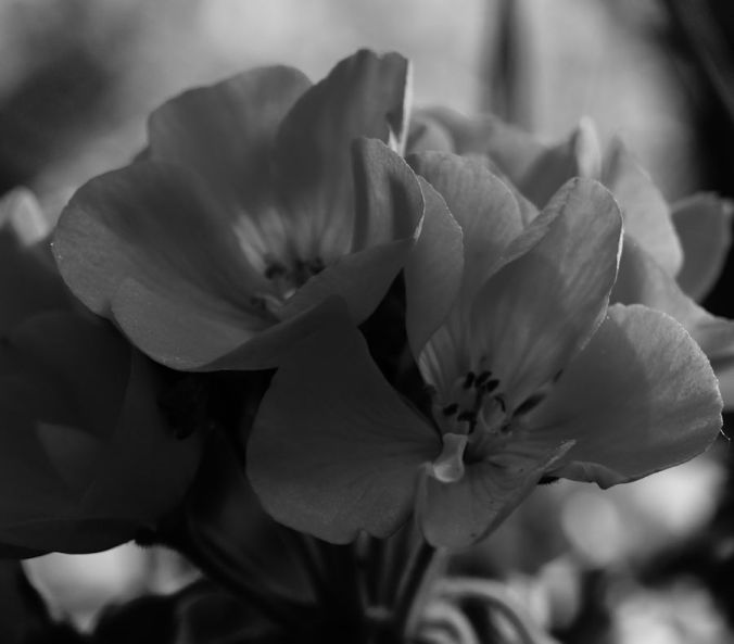 black and white photo blooms
